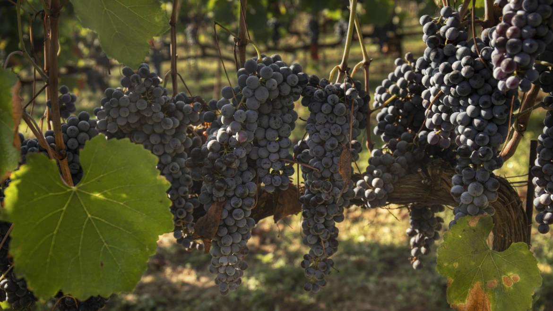 La ricerca dei Vini – Podere Ema  il Puro Toscano